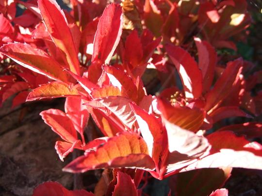Parthenocissus_th.jpg (Parthenocicissus tricuspidata)