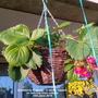 Strawberry 'Toscana'  (Fragaria x ananassa (Garden strawberry))
