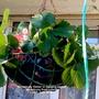 Strawberry 'Delizz' (Fragaria x ananassa (Garden strawberry))