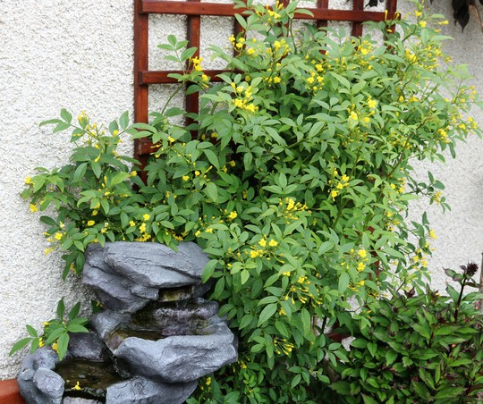 Jasminum 'Revolutum' (Jasminum humile (Yellow jasmine))