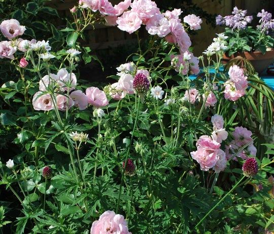 Roses and Allium... (Allium sphaerocephalon (Round-headed leek))
