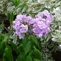 Phlox paniculata 'Franz Schubert' - 2018 (Phlox paniculata)