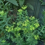 Euphorbia schillingii - 2018 (Euphorbia schillingii)