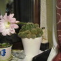 Ecinopsis Oxygona (Easter Lily Cactus)