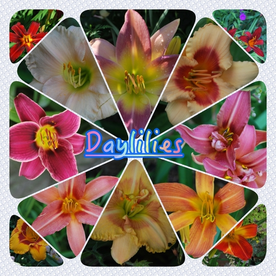 A few Daylilies in the garden this week....