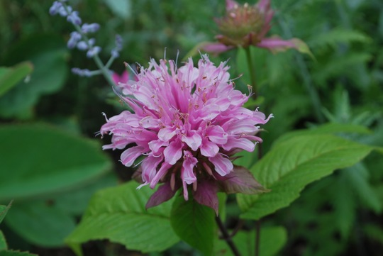 Monad  Beauty of Cobham... (Monarda Beauty of Cobham.)