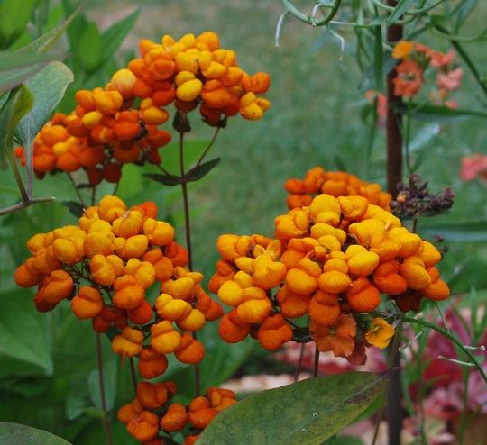 Calceolaria Kentish Hero.... (Calceolaria..)