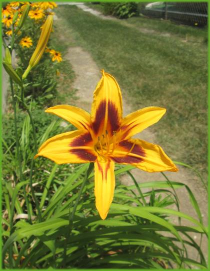 Bonanza Day Lily