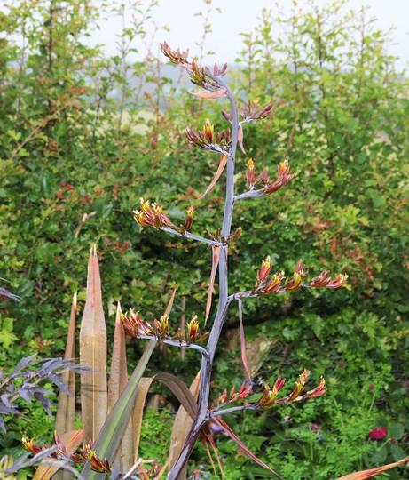 Phormium 'Platts Black' Flowering (Phormium tenax (New Zealand flax))