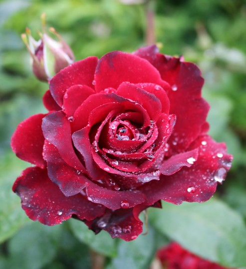 Rose 'Hommage A Barbara'