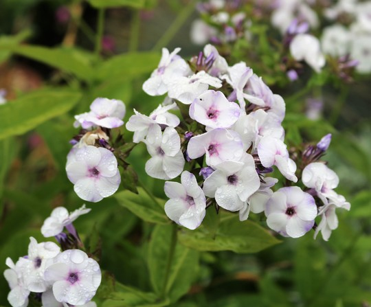 Early Phlox paniculata 'Ice Cream' (Phlox paniculata)