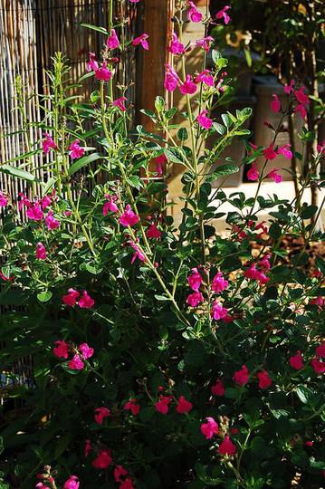 Salvia microphylla 'Pink Blush' (Salvia microphylla)