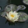 Denver Water Lily