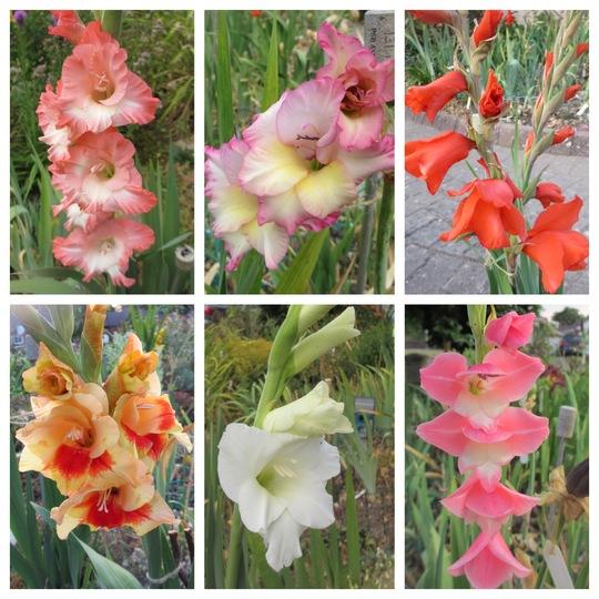 Gladiolus (Gladiolus)