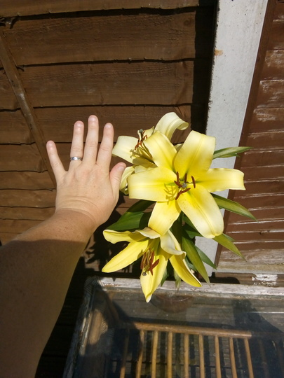 Fully blooming now and it smells lovely, and as big as my hand