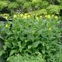 Silphium perfoliatum - 2018 (Silphium perfoliatum)