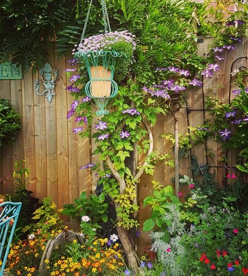A colourful corner... (Clematis viticella  Venosa Violacea.)