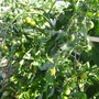 Tomatoes cropping well