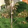 Prunus_subhirtella