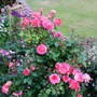 Rose 'Designer Sunset' (Patio)