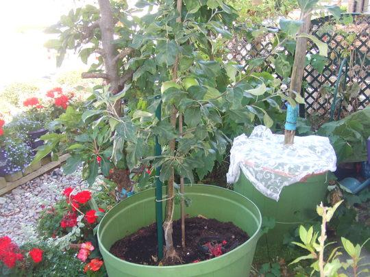 "New Apple tree planted Autumn 2017 - ""Scrumptious"""