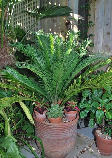 Cycas (Cycas revoluta (Japanese Fern Palm))