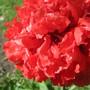 IMG 7441-Annual Poppy