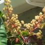 Newest Mango bloom- colorful. (Mangifera indica (Mango))