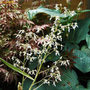Saxifraga stolonifera (Saxifraga stolonifera (Mother Of Thousands))