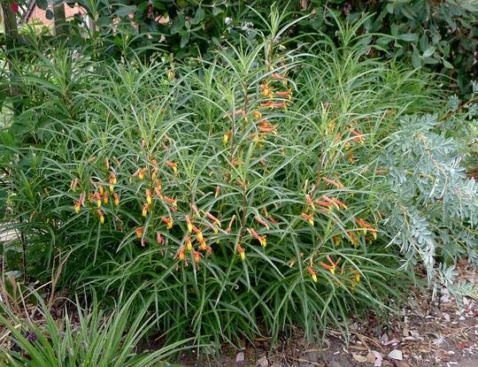 Lobelia laxiflora var angustifolia - 2018 (Lobelia laxiflora var angustifolia)