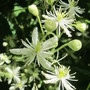 IMG 7440- Clematis virginianum  Old Man's Beard for Amsterdam