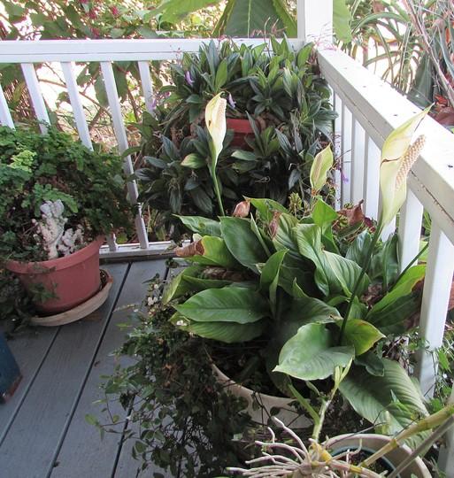 Spathyphyllum in bloom on porch. (Spathiphyllum)