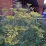 Foeniculum vulgare 'Purpureum' - 2018 (Foeniculum vulgare 'Purpureum')