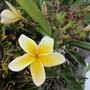 Celadine Plumeria.