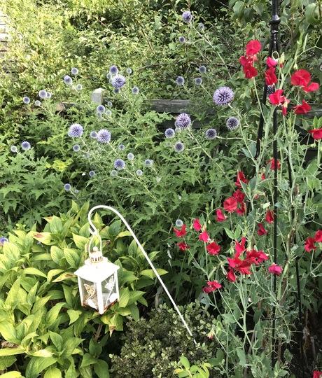Echinops and Sweet Pea