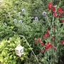 Echinops and Sweet Pea