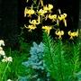 Yellow Turks Cap with Dwarf Blue spruce-