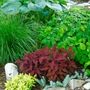 Green and Reddish Coleus