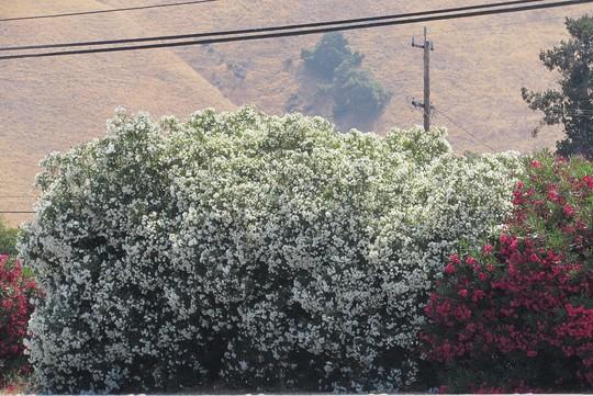 White Oleander...elegant. (Nerium oleander (Rose Bay))
