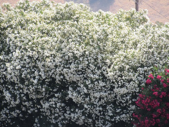 A mass of Oleander blooms. (Nerium oleander (Rose Bay))