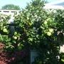 Pruned Espalier Apple tree