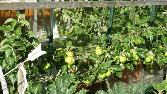 Small pruned espalier apple tree