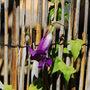 Asarina scandens (asarina scandens)