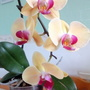 Orchid 2nd scape flowering on living room table 22nd July 2018 (orchid)