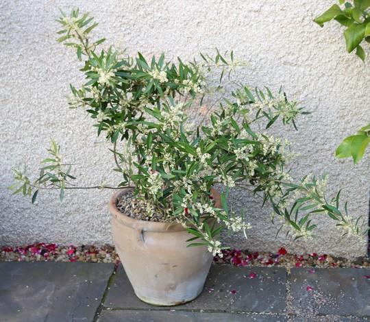 Olea Europea - My little Olive Tree (Olea europaea (Aceituna))