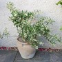 Olea Europea - My little Olive Tree (Olea europaea (Aceituna))