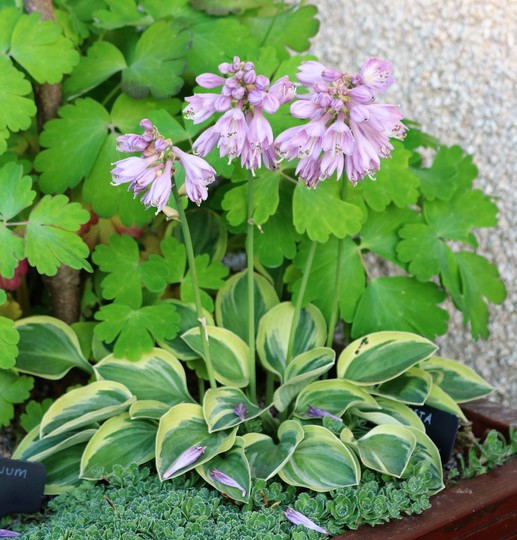Hosta 'Frosted Mouse Ears' (Hosta 'Frosted Mouse Ears')