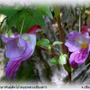 Parrot_flower_2