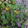 Fuchsia_procumbens_2018