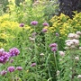 Solidago, Verbena and Eupatorium